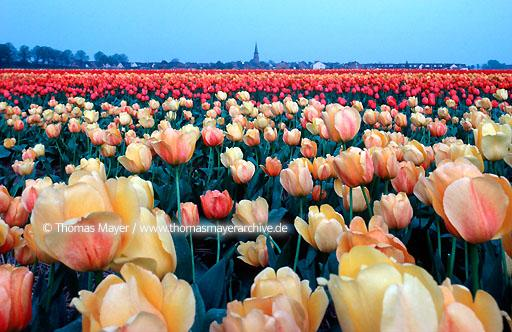Lower Rhine Lower Rhine, tulip field near Neuss, Germany  106AA19970605A0039