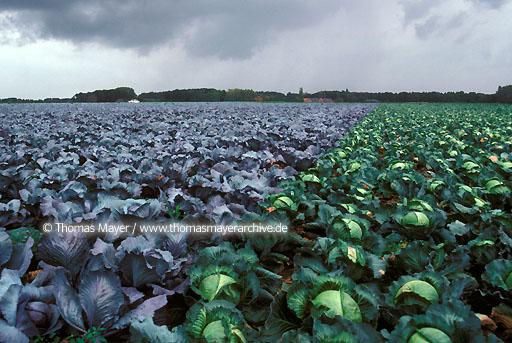 Lower Rhine Lower Rhine, cabbage growing, farming near Kempen, Germany  106AA19970605A0055