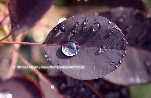 water, waterplants Rittergut Birkhof, Korschenbroich, waterdrops on a leaf in the garden center  086AD20020615D6035