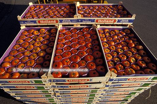 Vegetable growing, Netherlands Tomato growing in Westland, Netherlands, shipment  047AC19920715A0013